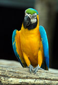 Colorful  Macaws parrot — Stock Photo
