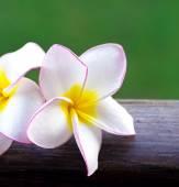 Růžové keře květiny — Stock fotografie