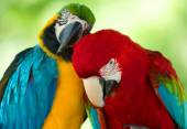 Colorful Macaws parrots — Stock Photo