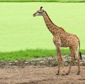 Giraffe in  safari park — Stock Photo