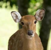 Head of  whitetail deer — Stock Photo