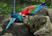 Colorful Macaws parrots — Foto de Stock