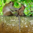 Monkeys animals on nature — Stock Photo #64346501