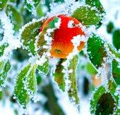 Apple in  winter tree — Stock Photo