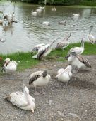 Pelicans  in natural environment — Stock Photo