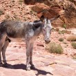 Donkey stands in Petra, Jordan — Stock Photo #66749331
