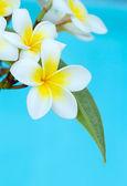 Beautiful Frangipani flowers — Stock Photo