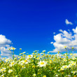 Camomiles flowers and  sky — Stock Photo #66752379