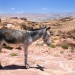 Donkey in ancient ruins of Petra — Stock Photo #66752955