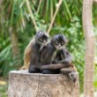 Monkeys animals on nature — Stock Photo #67235791