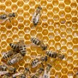 Working bees on honeycells — Stock Photo #67236191