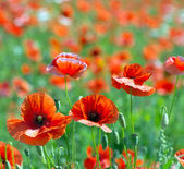 Poppies  on cereal field — Stock Photo