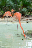 Pink flamingos in water — Stock Photo