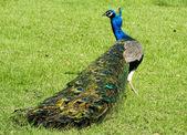 Beautiful Peacock bird — Stock Photo