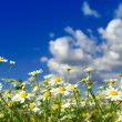 Camomiles flowers and  sky — Stock Photo #69216343