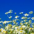 Camomiles flowers and  sky — Stock Photo #69216895