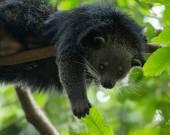 Amusing animal of binturong — Stock Photo