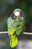 Parrot bird  sitting on  perch — Stock Photo