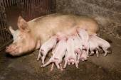 Little piglets suckling their mother — Stock Photo