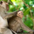 Monkeys animals on nature — Stock Photo #71430181