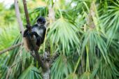 Spider monkey  on  tree — Stock Photo