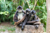 Spider monkeys  on nature — Stock Photo