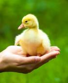 Little yellow duckling on  hands — Stock Photo