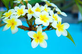 Frangipani flowers on  tree — Stock Photo