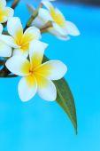 Frangipani flowers on  tree — Stock Photo