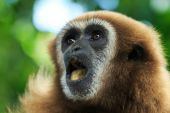 Gibbon animal face — Stock Photo