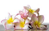 Blossom Flowers frangipani — Foto de Stock