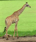 Giraffe in  zoo  park — Stock Photo