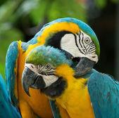 Parrots birds on nature — Stock Photo