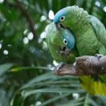 Parrots birds on nature — Stock Photo #73877985