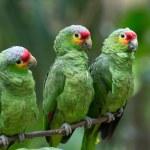 Parrots birds on nature — Stock Photo #74225151