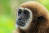 Gibbon   face in zoo — Stock Photo