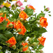 Close-up of a beautiful bouquet of orange roses. Isolated on whi — Stockfoto