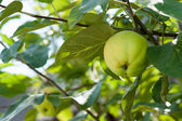 Green apples on a branch ready to be harvested, outdoors, select — Stock Photo