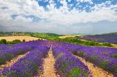 Provence with blooming lavande — Stock Photo