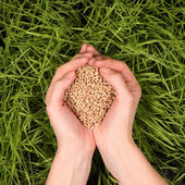 Seeds of wheat in the hands — Stock Photo