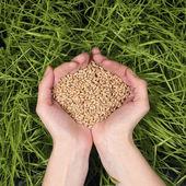 Sementes de trigo nas mãos — Fotografia Stock
