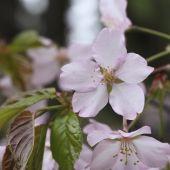 Sakura flower — Stock Photo