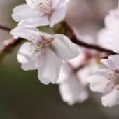 Blured spring sakura — Stock Photo