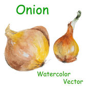 Watercolor onion — Stock Vector