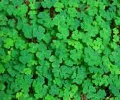 Groene achtergrond met drie-gebladerde shamrocks. — Stockfoto