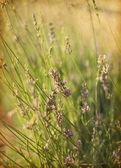 Blommande lavendel på ett fält — Stockfoto
