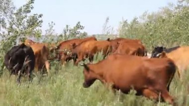 Herd of cows on pasture — Stock Video