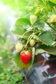 Strawberry plant — Stock Photo