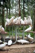 Wild white cockatoos sitting on a picnic table — Stock Photo