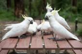 Wild white cockatoos eatng seeds on picnic table — Stock Photo